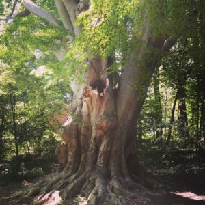 The America Beech at Pendle Hill